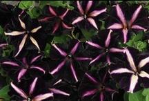 PETUNIA / POTUNIA / Varieties & Colours
