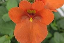 DIASCIA / Varieties & Colours