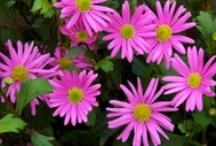 BRACHYSCOME / Varieties and Colours