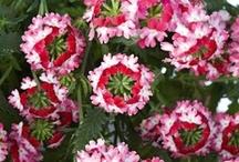 VERBENA / Varieties and Colours
