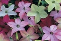 NICOTIANAS / Varieties and Colours