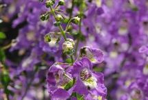 ANGELONIA / Colours