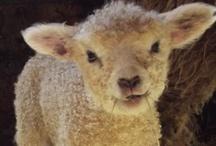 Animals ~ Sheep / by God's Girl Jul
