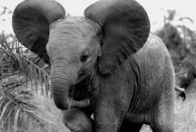 Elephants<3 / by Elaina Morrigan