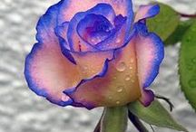 Blue Rose Inspirations / For the Moody Blues 2015 Tour I gathered all these images, looking for just the right blue rose. We changed course and went a different way, but the images remain here because: blue.
