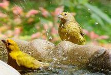 cenário com água fresca é um convite que eles não recusam, / fotografo pássaros e seus comportamentos. A água é um atrativo constante.