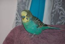 BUDGIES / I have some budgies, and I breed them and sell them