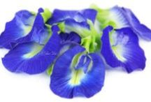 Butterfly Pea Flowers Photos / Pictures of Butterfly Pea Flowers from our garden! / by BlueChai - Dried Butterfly Pea Shop