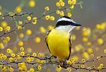 Aves do Brasil - Brazilian Birds / Aves nativas do Brasil.