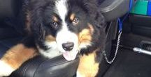 My Bernese Mountain Dog - Charlie ♥︎ / Charlie was born on July 21st, 2013