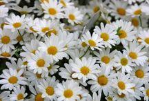 Juno- spring flowers