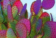 Juno - Cactus world