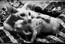 perfect creatures / catz catz catz