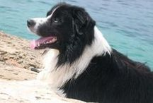 Border Collies / The most loyal friend in the world