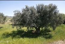 Oro del Desierto estates #olivegroves