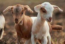 Back to the Barnyard / Farm animal cuteness.