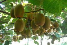 How to grow tree from seed / Grow kiwi & Lemon tree from seed