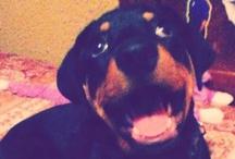 perry best rottweiler ever!