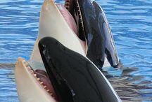 love orcas - dolphins