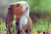 Guinea Pigs / I love guinea pigs and I will just pin things about them on this board!