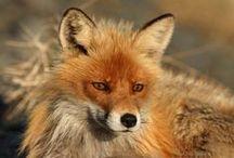 Fox / Zorro <3 / Los vulpinos (Vulpini) son una tribu de mamíferos carnívoros incluidos en la familia de los cánidos. Se conocen comúnmente como zorros, zorras, raposos o raposas.1 Actualmente están representados por unas 27 especies que se encuentran en casi todos los continentes, aunque la más extendida es el zorro rojo o zorro común (Vulpes vulpes). Otras especies importantes son el zorro polar, también conocido como zorro ártico, el zorro gris y el zorro isleño.