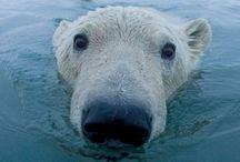 Polar Bears / Polar bears of all shapes and sizes