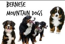 ☺︎ Bernese Mountain Dogs
