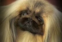 Pekingese Dogs / Missing Angel and Jazzy, my two peke's that I loved dearly. / by Sue Wiggins