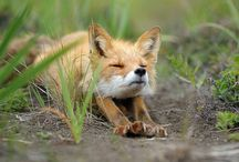 A foxy fox :p / foxes, of course! ...and other living creatures