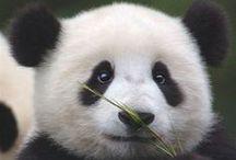 Pandas pandas and more PANDAS