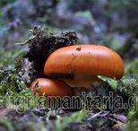 Wild Mushrooms Άγρια μανιτάρια