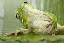 Reptiles and amphibians /   Caudate,Anurans,Turtles,Squamates,Crocodilians