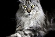 Maine coon love