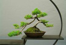 Bonsai / Bonsai tree