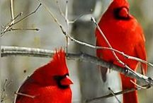 Cardinals / My favorite bird brings joy to my heart. / by Amberlyn