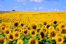 Sunflowers / Sunflowers make me happy! / by Sherry Sayers