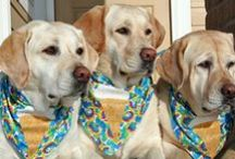 "It's a Lab Thing--Yellow / yellow labs and ""white"" labs--yes my favorite color / by Trudee Ruffridge"