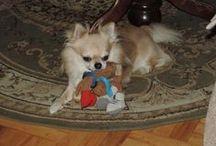 Dyzio / Dyzio chihuahua  #chihuahua #dog