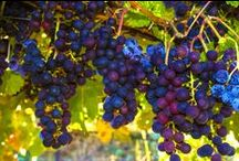 Gold Mountain Winery and Lodge Grapes. / The Gold out on the vines.