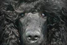 STANDARD PARTI POODLES / I love my dog Elíška :)