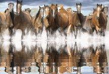 Cavallo Gif