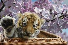 Tigre Gif