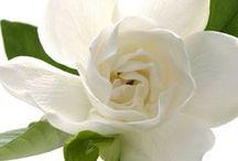 ~ gardenia ~ / by Putu Sita