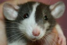 Rats / Rats are the most amazing pets. They get me through thick and thin. Spread the word and give these babies a home.  / by Jordyn Evans