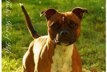My Stafford / Staffordshire bull terrier  Staffie  SBT