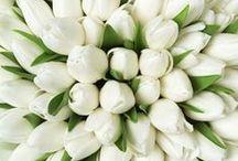 ~ white tulip ~ / by Putu Sita