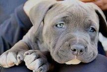 Staffies / Beautiful Staffordshire Bull Terriers from all around the world