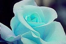 Garden - Rozen - Roses / Rozen uit de hele Wereld, alle soorten en kleuren.  / by Mieke Löbker