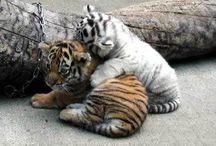 ☑White tiger / My favourite animal...