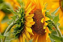 Sonnenblumen / Sunflowers - always lovely